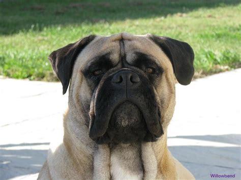 bull mastiff bullmastiff dogs breeds molosoides pets
