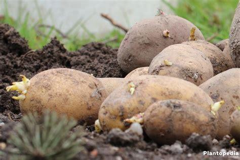 wann werden kartoffeln gepflanzt kartoffeln ernten wann ist die beste zeit zur