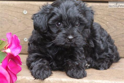 yorkie poo puppy names meet amanda a yorkiepoo yorkie poo puppy for sale for 425 amanda adorable