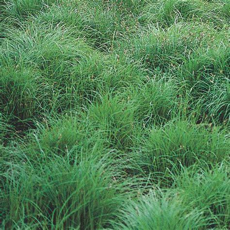 Indoor Rock Garden - pennsylvania sedge carex pennsylvanica my garden life