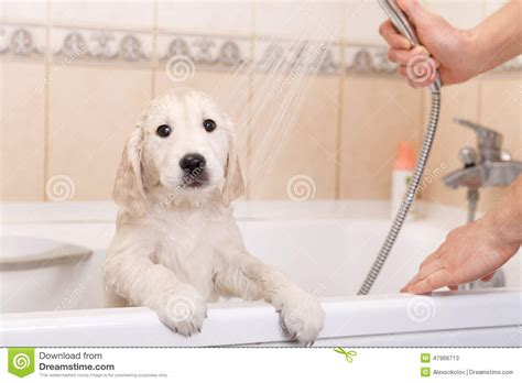 How Does A Puppy To Be To Shower golden retriever puppy in shower stock photo image 47966713
