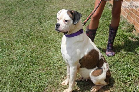 akc boxer puppies for sale near me akc boxer puppy for sale near houston 3aedb14b 9f81
