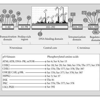 atm p53 p21 signaling in p53 wild type human solid tumor