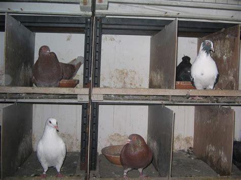 come si chiama la gabbia dei conigli colombi da carne razza california a doppio a lodi
