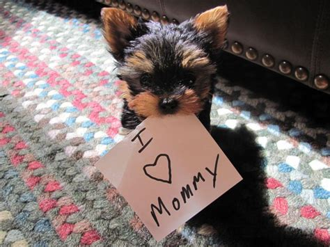yorkie world best ideas about yorkie s baby and cutest yorkie on
