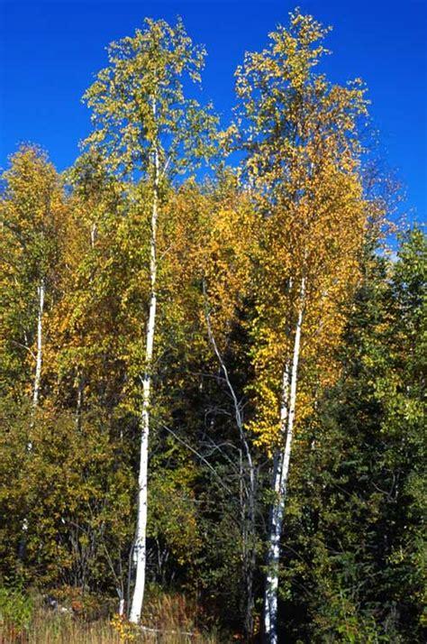birch species common trees of the pacific northwest