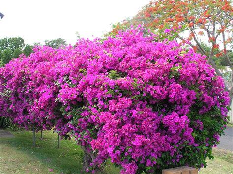 hardest flower to grow how to grow bougainvillea gardendrum
