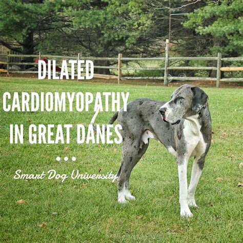 dilated cardiomyopathy in dogs laurie luck author at smart