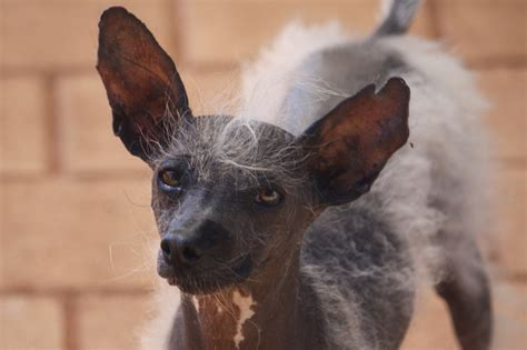 when do puppies lose their puppy fur do italian greyhounds shed their hair 28 images