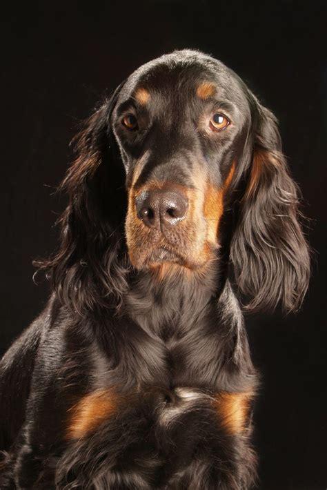 gordon setter dog names 16 best gordon setter images on pinterest gordon setter