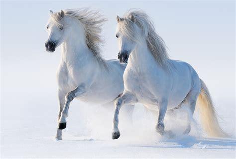 White Original Pencerah Whitening Wajah fonds d ecran cheval blanc courir deux neige animaux t 233 l 233 charger photo
