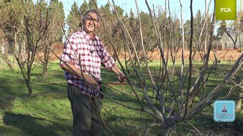 la poda pruning poda intensiva de la higuera intensive pruning of fig tree youtube