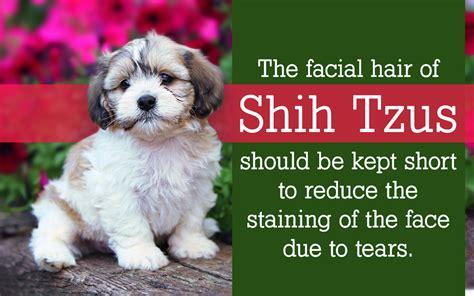 shih tzu grooming tips shih tzu grooming tips