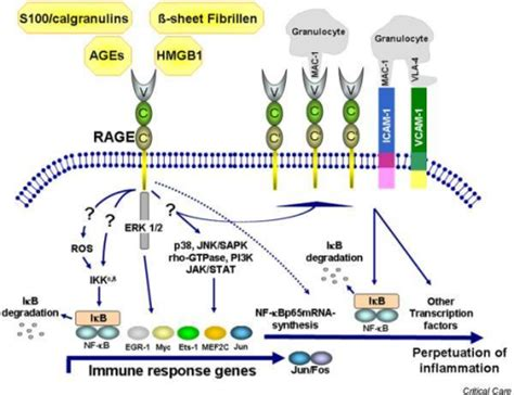 pattern recognition receptor age receptor of advanced glycation endproducts rage media