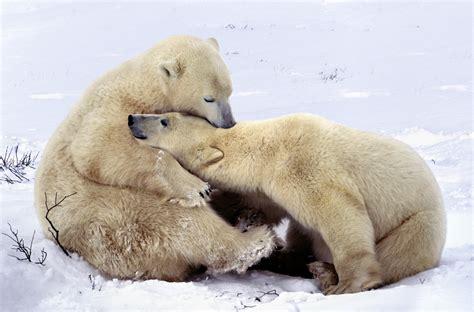 Two Polar Bears In A Bathtub by Cachorros De Osos Polares Salen De Su Hibernaci 243 N Vista