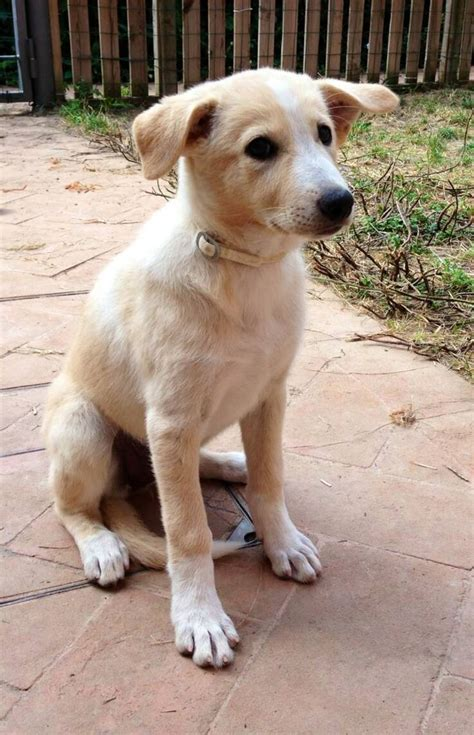 dogs with short floppy ears 17 best images about canaan dog on pinterest adoption