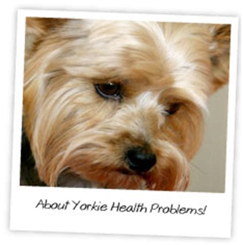 teacup yorkie health issues about yorkie health problems