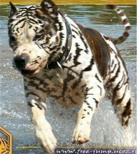tiger stripe pitbull puppies pit bull s dogs pit bulls bullies and chow puppies