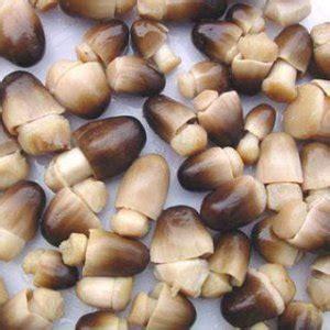 jenis jenis jamur konsumsi edible mushroom ganesha