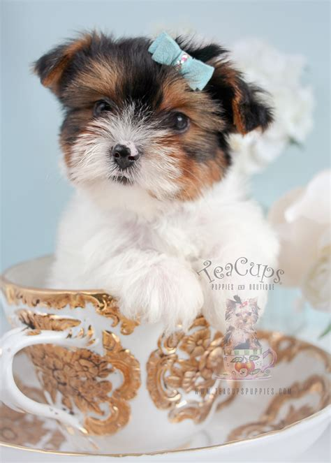biewer yorkie puppies for sale in florida biewer terrier puppy 287 teacups puppies boutique