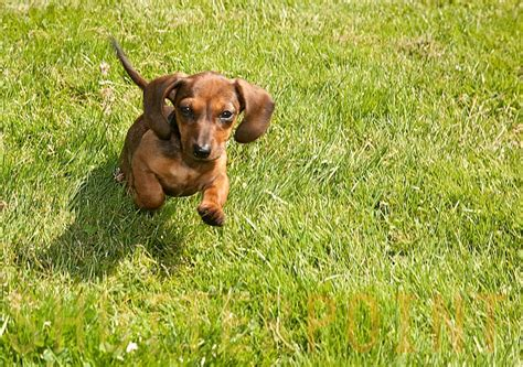 pin by snyder on dachshunds