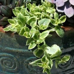 trailing succulent plant aptenia variegata