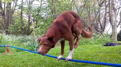 pug rescue mobile alabama talented performs two legged tightrope trick on the feed cbs news