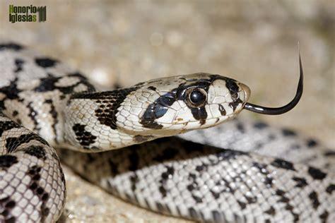 imágenes de serpientes negras reptiles de valsa 237 n culebra de escalera rhinechis