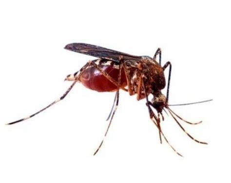 imagenes comicas de zancudos zancudos mosquitos