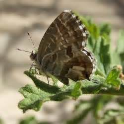 li a le marshall cacyreus marshalli butler 1898 papillons de poitou charentes
