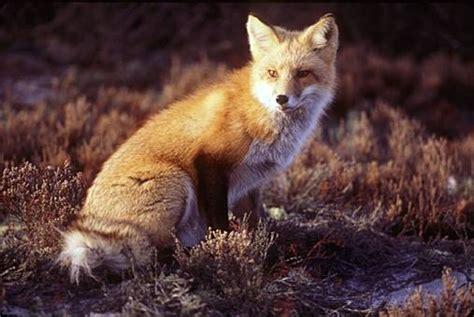 imagenes de zorros tristes im 193 genes y fotos de animales zorros