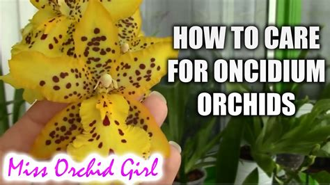 how to care for oncidium orchids and intergenerics watering fertilizing reblooming viyoutube
