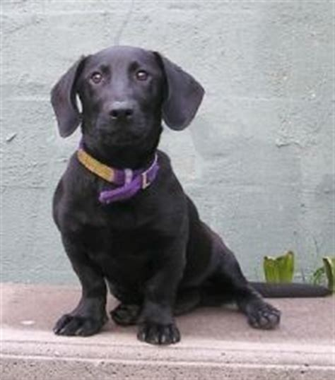 bassador puppy 1000 images about dogs on labradors labs and basset hound
