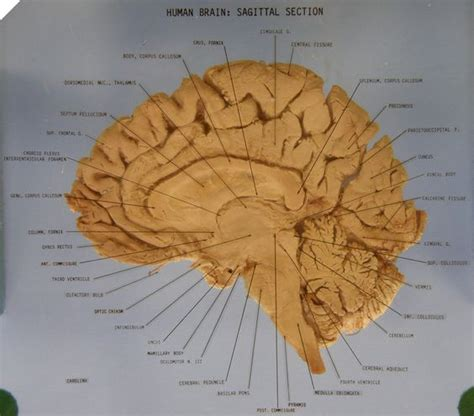 median section of brain the brain sagittal section anatomy labeled