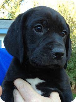 beagle lab mix puppies jethro adopted puppy richmond va beagle labrador retriever mix