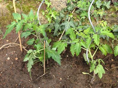 Wie Pflege Ich Tomatenpflanzen 5105 by Junge Tomaten Pflanzen