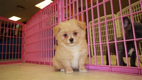 malti pom puppies for sale low shedding malti pom puppies for sale in at puppies for sale local breeders