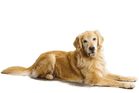 golden retriever behavior characteristics golden retriever breed information facts pictures temperament and characteristics