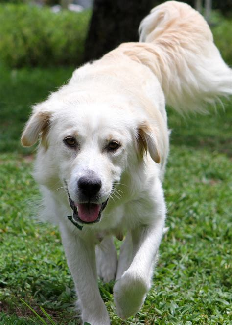 golden retriever rescue league missing adopted grrmf found golden retriever rescue of mid florida