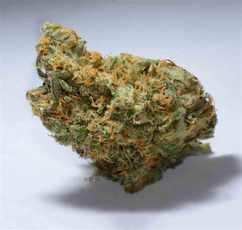 buddha s strain review i growing marijuana