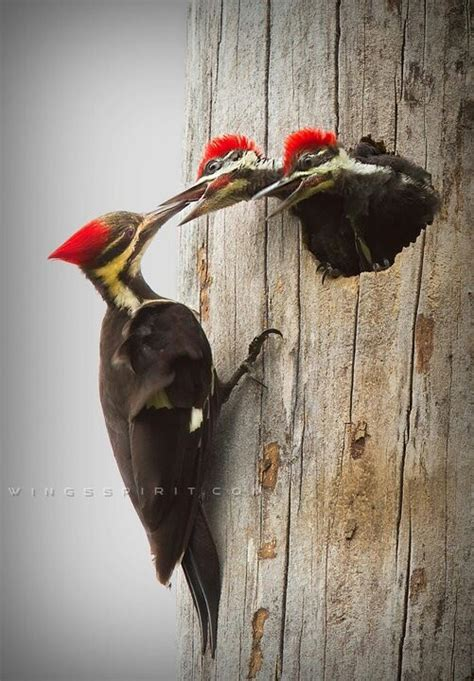 the woodpecker woodworking 17 best images about woodpeckers on spotted