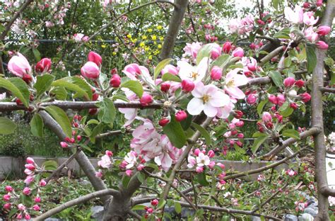 cherry blossoms at blatchley community garden