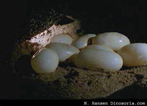 varan malais varanus salvator en images video dinosoria