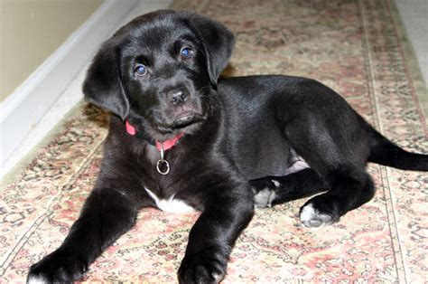 black lab and golden retriever mix puppies for sale goldens retrievers golden retriever and black lab mix