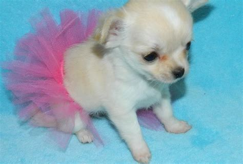 teacup pomeranian chihuahua mix for sale teacup chihuahua wallpaper wallpapersafari