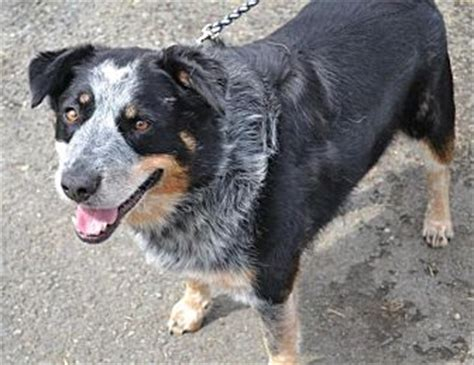 rottweiler heeler mix blue heeler rottweiler mix breeds picture