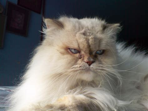 breeds with cats extinct cat breeds www pixshark images galleries with a bite