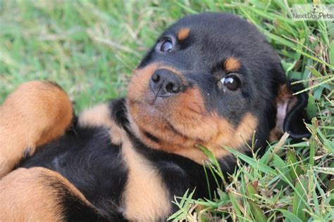 Vom Hunt Rottweilers Rottweiler Breeder Carolina Breeds Picture