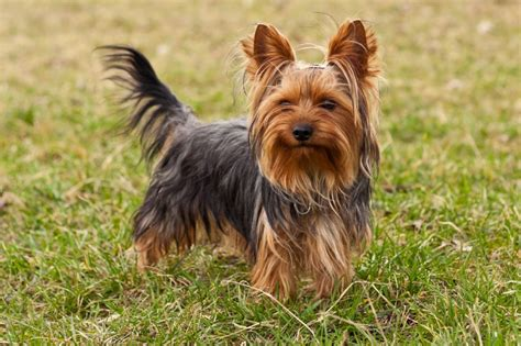 are yorkies with terrier breed health