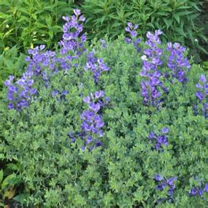 baptisia australis var minor drought tolerant perennials perennials avant gardens